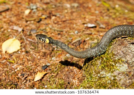 Grass snake in forest background. Natrix natrix - stock photo