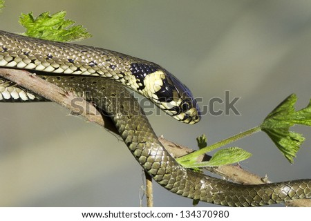 Grass snake in forest background / Natrix natrix - stock photo