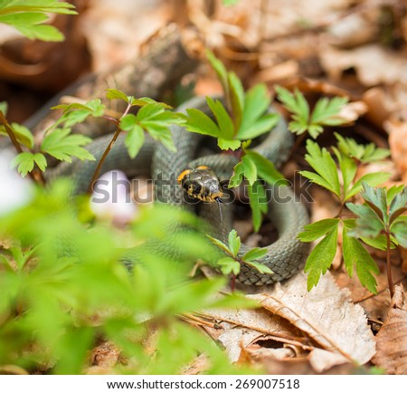Grass snake in grass and dry leaves. - stock photo