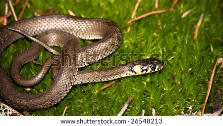 Grass Snake In wood against a moss in a dwelling habitat