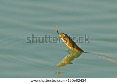 Grass snake (Natrix natrix) - stock photo