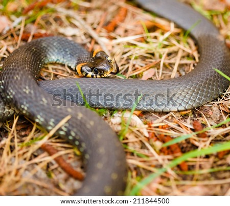 Grass Snake (Natrix natrix) adder head raising defensiveness in forest early spring - stock photo