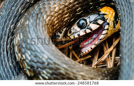 Grass Snake (Natrix Natrix) Adder Head Raising In Hibernation - stock photo