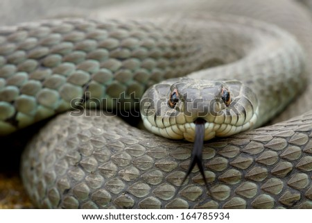 Grass snake (Natrix natrix) adult moving his tongue - stock photo