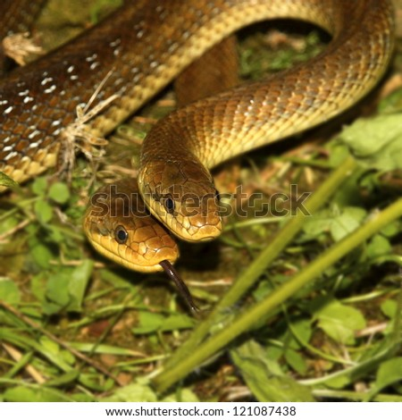 Grass snake (Natrix natrix) couple - stock photo