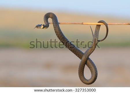 Grass-snake (Natrix natrix) hangs on cane stick. Kalmykia, Russia - stock photo
