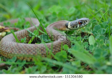 Grass Snake (Natrix natrix) head raising defensiveness - stock photo