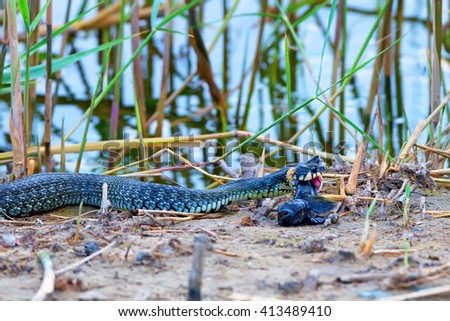 Grass snake (Natrix natrix) is eating its prey - stock photo