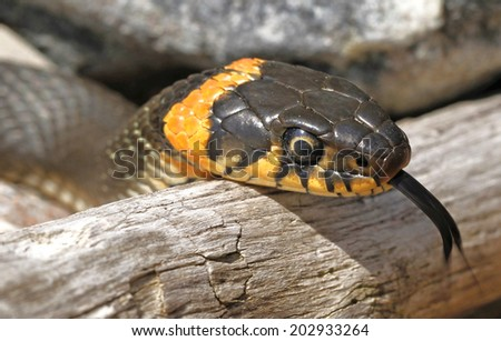 Grass snake (Natrix natrix) showing tongue on deadwood. - stock photo