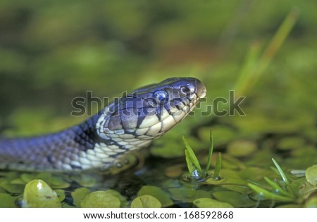 Grass snake, Natrix natrix, single reptile in water - stock photo