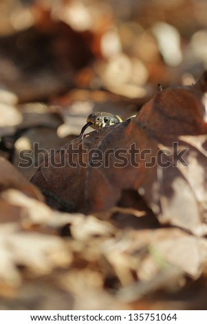 grass snake (Natrix natrix), sometimes called the ringed snake or water snake in beach forest - stock photo