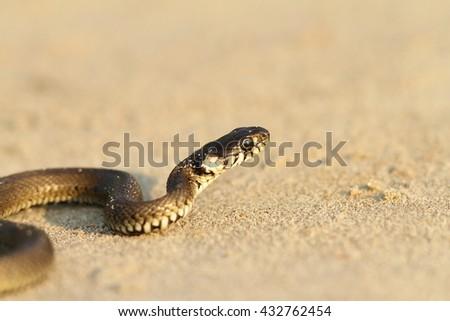 grass snake on sandy beach ( Natrix natrix ) - stock photo
