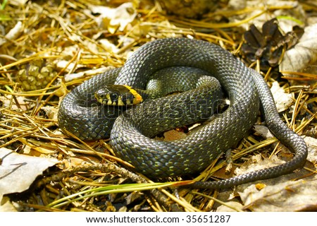 grass-snake on the ground - stock photo