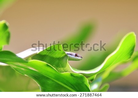Grass Snake - Reptile Background from Africa - Harmless Nature - stock photo