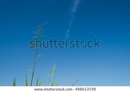 Grass with blue sky background, In a sunny day.