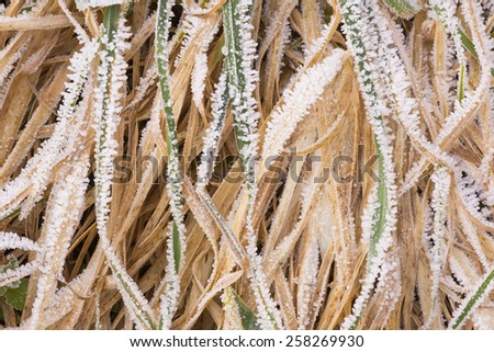 Grass with rime - stock photo
