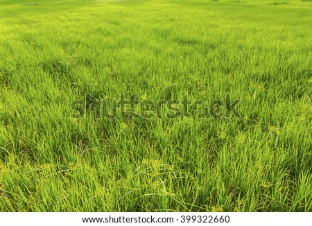 Grasses in the rice field. - stock photo