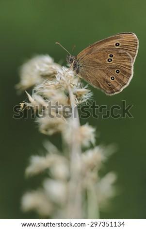 Grasses with Ringlet (Aphantopus hyperantus) - mating butterflies - stock photo