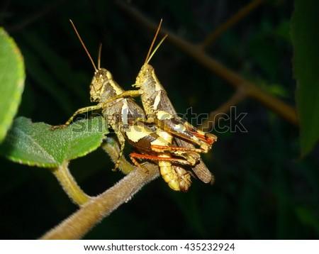 grasshopper breed - stock photo