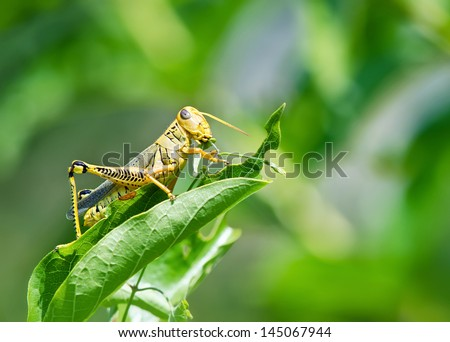 Grasshopper eating and destroying leaves. Soft green background with copy space. - stock photo
