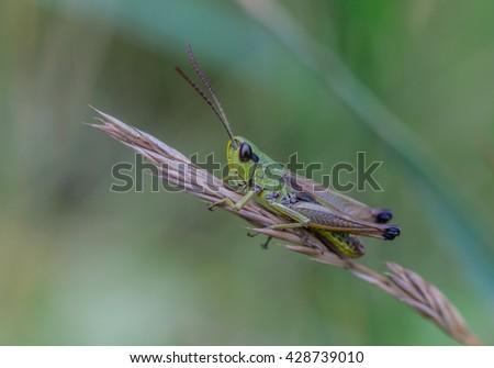 Grasshopper, grass. - stock photo