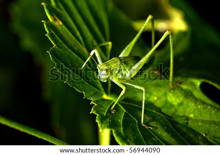 grasshopper hiding in the green foliage. closeup. - stock photo