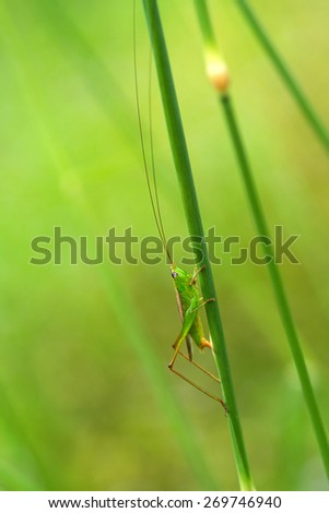grasshopper in a green field in macro mode and background field - stock photo