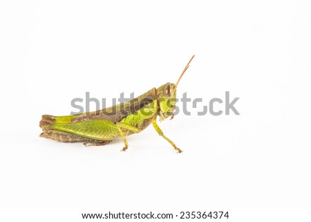 grasshopper in Thailand - stock photo