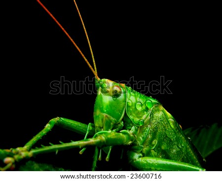 grasshopper insect