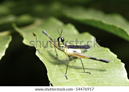 grasshopper insect of tropical forest