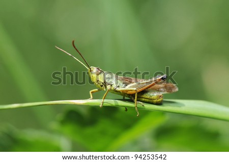 Grasshopper is a list of the grass - stock photo