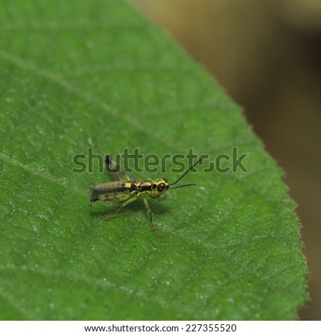 Grasshopper is on a green leaf - stock photo