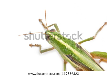 Grasshopper isolated on white background.