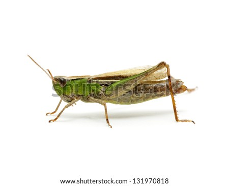 grasshopper isolated on white background - stock photo
