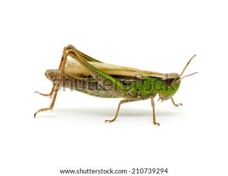 grasshopper isolated on white background - stock photo