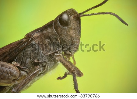 Grasshopper lateral view