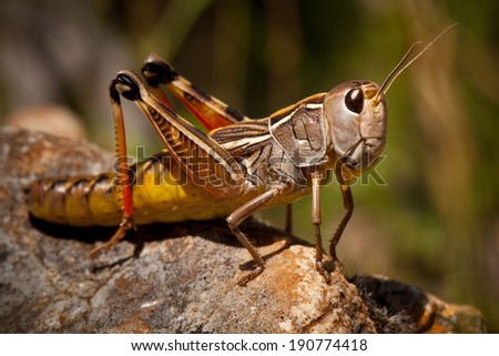 Grasshopper Macro - stock photo