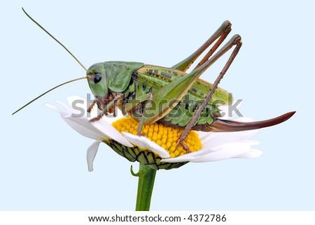 grasshopper on a daisy - stock photo