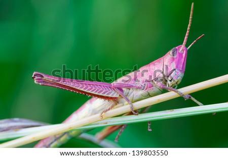 Grasshopper on a grass - stock photo