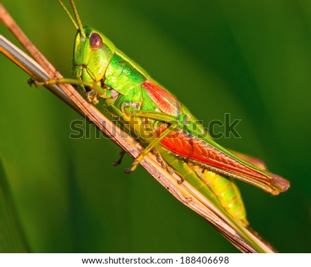 Grasshopper on a halm of grass in summer - stock photo