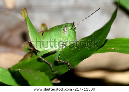 grasshopper on a leaf - stock photo