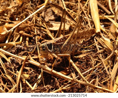 Grasshopper on the dry herbs - stock photo