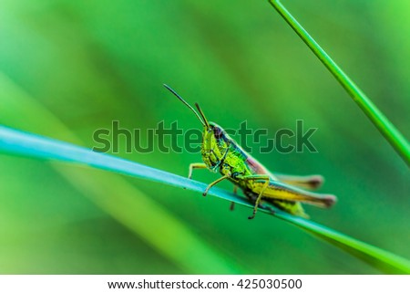 Grasshopper sitting on a blade of grass - stock photo