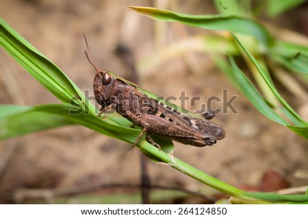 Grasshopper sitting on blade of grass - stock photo