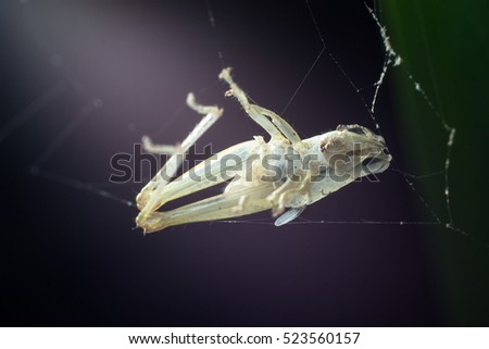 Grasshoppers are eaten by spiders.