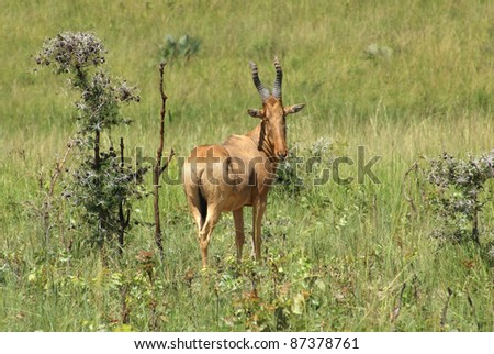 grassland scenery including a Hartebeest in Uganda (Africa) - stock photo