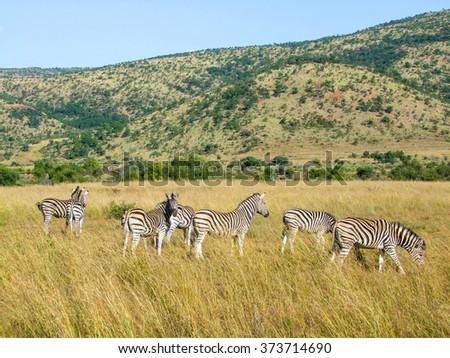 grassland scenery including some zebras in South Africa - stock photo