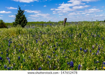 Grassy Texas Meadow with Bluebonnets (Lupinus texensis) and Barbed Wire Fence. - stock photo