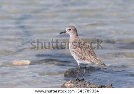 Grater sand plover on a shore in Bahrain