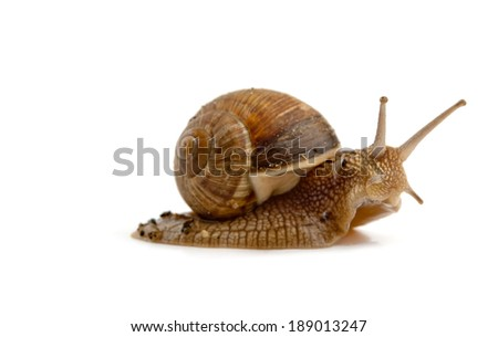 grawling snail isolated on a white background